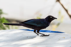 The one legged dark blue Superb Starling Stock Photos
