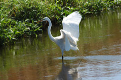 One Legged Egret Royalty Free Stock Photos