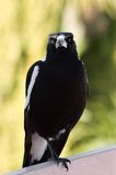 One Legged Magpie. A one-legged magpie sits on a railing royalty free stock photo