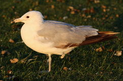 One-Legged Seagull Royalty Free Stock Photos