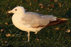 Free One-Legged Seagull Royalty Free Stock Photos - 3125958