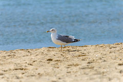 One-legged seagull Stock Images