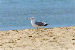 One-legged seagull Stock Images