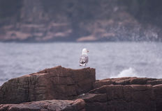 One-legged Seagull at Thunder Hole Stock Image