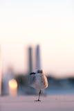 One-legged vogel kruist een jachthaven in Florida Stock Afbeelding