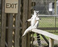 One lemur sitting on the fence Stock Photo