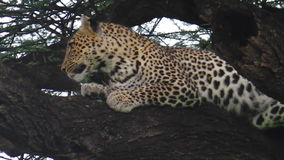 One Leopard on tree stock video