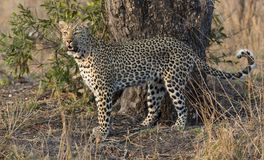 One leopard walking hunting in nature during daytime Royalty Free Stock Photography