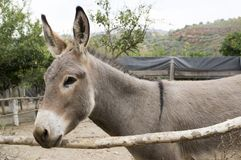 One light grey donkey, animal portrait royalty free stock photos