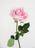 One light pink and white fresh rose. One light pink color tea rose with white ends of petals on a green stalk, on white background, vertical image Royalty Free Stock Image
