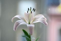 One light white and pink lily in vase, beautiful flowering flowers indoors on the window. Simgle flower royalty free stock photo