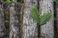 One lily of the valley on a woodpile Stock Image