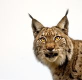 One Linx looking. A lynx looking Stock Photos