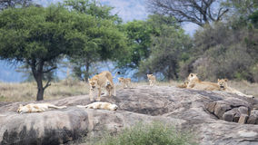 One lion and several lionesses with cubs on a large grey rock Stock Image