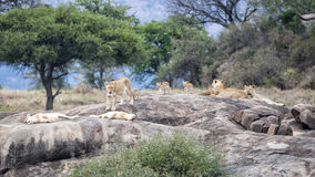 One lion and several lionesses with cubs on a large grey rock Stock Photos