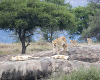 One lion and several lionesses with cubs on a large grey rock Royalty Free Stock Photos