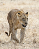 One lioness walking in the grass in the Ngorongoro Crater  Royalty Free Stock Photos