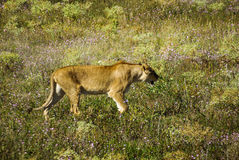 One lioness walking on grass Royalty Free Stock Photo