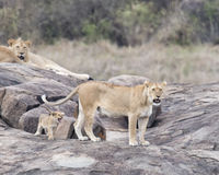 One lionesses and one lion and one cub on a large grey rock Royalty Free Stock Image