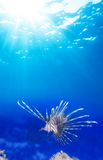 One lionfish in blue Stock Images