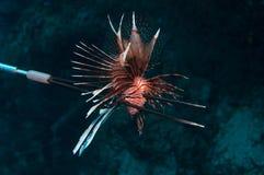 One Lionfish killed Stock Photos