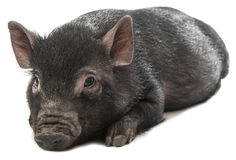 One little black pig on a white background Stock Images