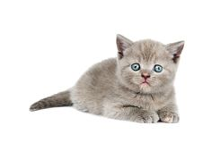 One little british kitten Royalty Free Stock Image