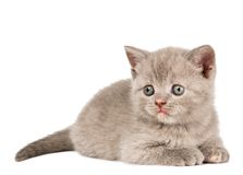 One little british kitten Royalty Free Stock Photography