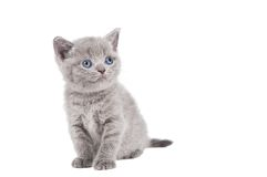 One little british kitten cat Stock Photos