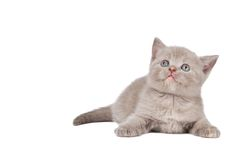 One little british kitten cat Royalty Free Stock Images