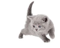 One little british kitten cat Stock Images