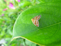 One little brown butterfly on the bright green leaf. Close-up, background Royalty Free Stock Photo
