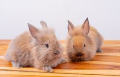 One of little brown rabbit or bunny stay in front of the other one with white  background royalty free stock image