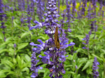 One little butterfly on purple lavender in green field Royalty Free Stock Images