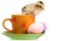 Cute little newborn chicken. One little chicken on cup with Easter eggs, isolated on white background Stock Images