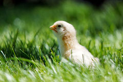 One little chicken on the grass Stock Image