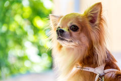 One little cute chihuahua Stock Images