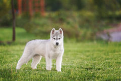 One Little cute puppy of Siberian husky. Dog outdoors royalty free stock image