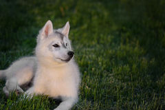 One Little cute puppy of Siberian husky royalty free stock photography