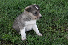 One little cute puppy of Siberian husky on grass Royalty Free Stock Image