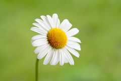 One Little Daisy. One white daisy on green background Royalty Free Stock Image