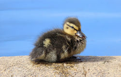 One Little Duckling. One little mallard duckling resting on a rock Royalty Free Stock Images
