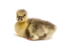 One little gosling isolated on white background Royalty Free Stock Image
