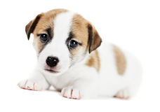 One little jack russel terrier puppy Royalty Free Stock Image