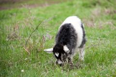 One little kid goat is grazing on the grass Royalty Free Stock Images