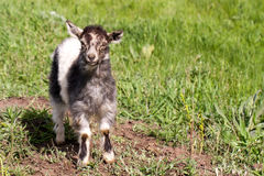 One little kid goat is grazing on the grass Royalty Free Stock Photos