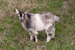 One little kid goat is grazing on the grass Royalty Free Stock Photography