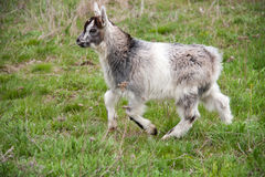 One little kid goat is grazing on the grass Royalty Free Stock Image