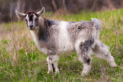 One little kid goat is grazing on the grass Stock Photo