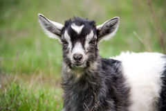 One little kid goat is grazing on the grass close-up Stock Photography
